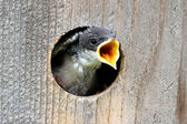 Baby Tree Swallow Begging For Food — Stock Photo