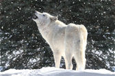 White Wolf In Snow — 图库照片
