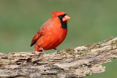 Male Cardinal On A Log — Stock Photo