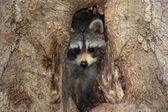 Baby Raccoon In A Tree — Stock Photo