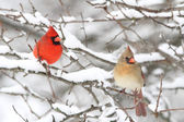 Cardinals In Snow — Foto Stock