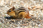 Eastern Chipmunk (Tamias striatus) — Stock Photo