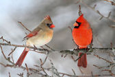 Cardinals In Snow — Stock Photo