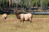 Majestic Bull Elk Bugling — Stock Photo