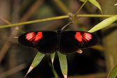 Heliconius Butterfly — Stock Photo