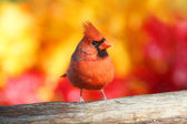 Male Northern Cardinal — Stock Photo