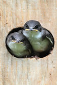 Baby Birds In a Bird House — Stock Photo