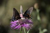Pipevine Swallowtail (Battus philenor) Butterfly — Stock Photo