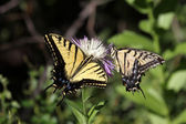 Tiger Swallowtail (papilio glaucas) Butterfly — Foto Stock