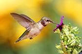 Juvenile Ruby-throated Hummingbird (archilochus colubris) — Zdjęcie stockowe