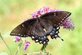 Kobieta tiger swallowtail — Zdjęcie stockowe