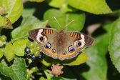 Ortak buckeye kelebek — Stok fotoğraf