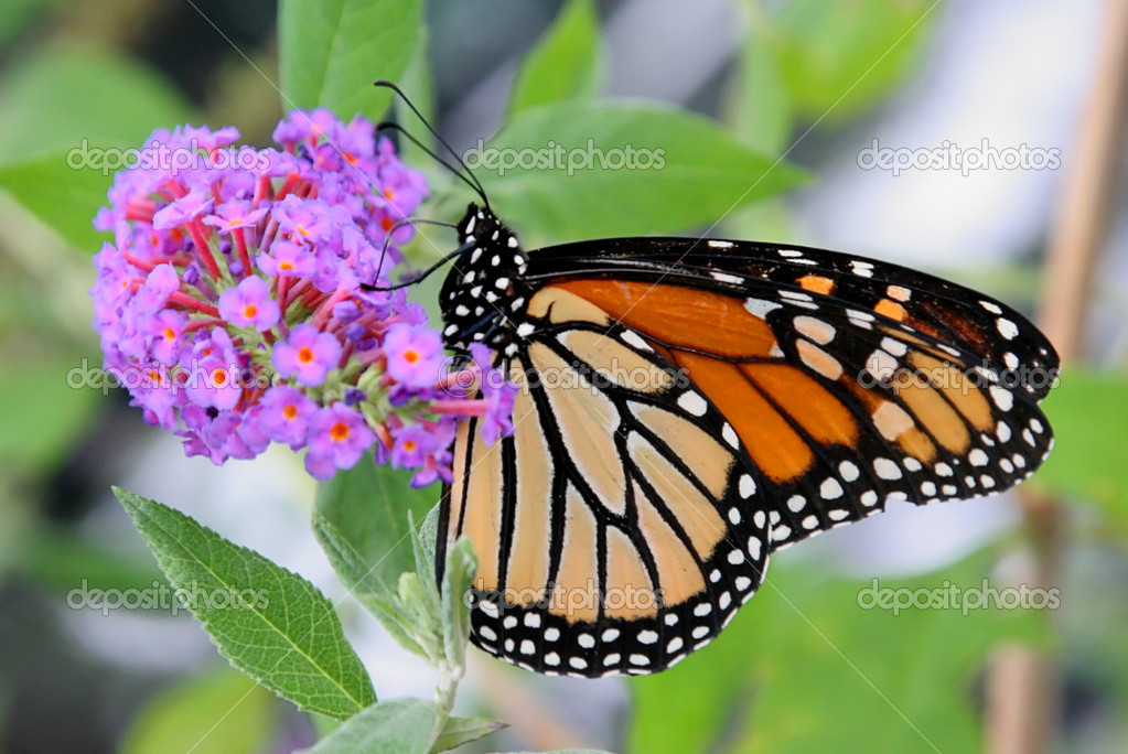 Monarch Butterfly (danaus plexippus) on spring flowers — Stock Photo #7922036