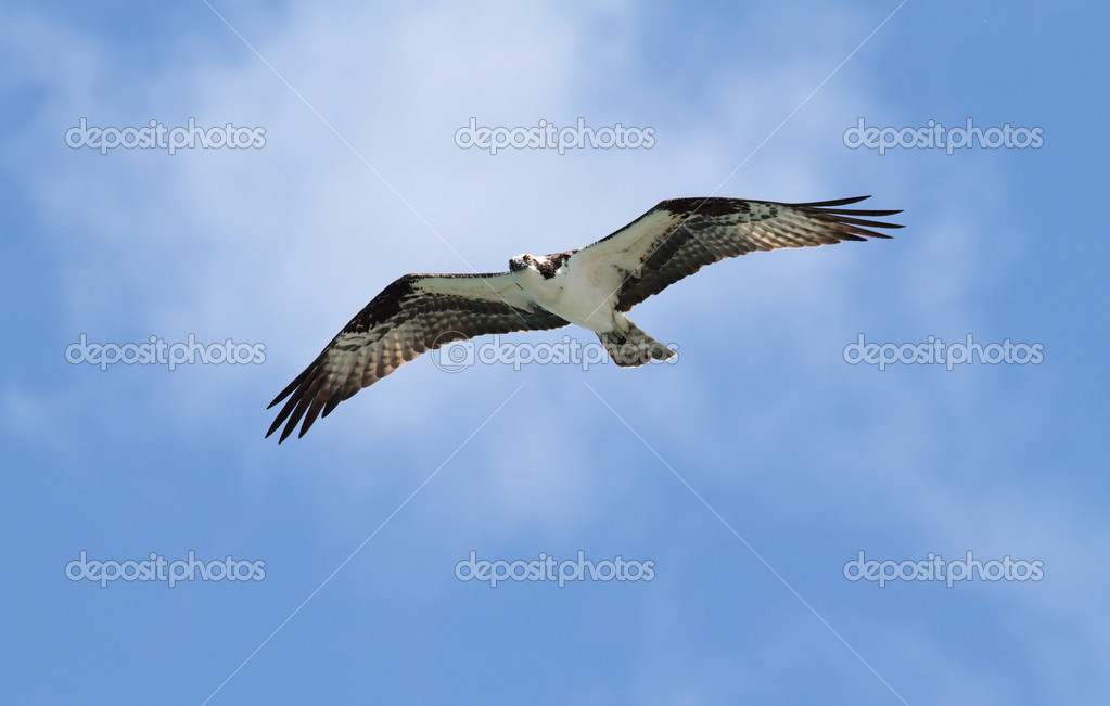 Osprey (pandion haliaetus) in flight with a blue sky background — Stock Photo #7922279