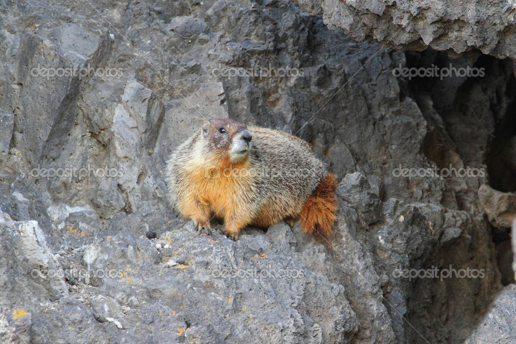 Yellow-bellied marmot (Marmota flaviventris) also known as a Rock Chuck — Stock Photo #7925296