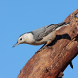 Nuthatch On A Stump — Stock Photo