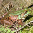 Stock Photo: Green Frog On Rock