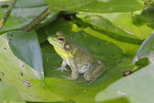 Frog On A Lily Pad — Stock Photo