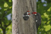 Hungry Baby Woodpeckers — Stock Photo