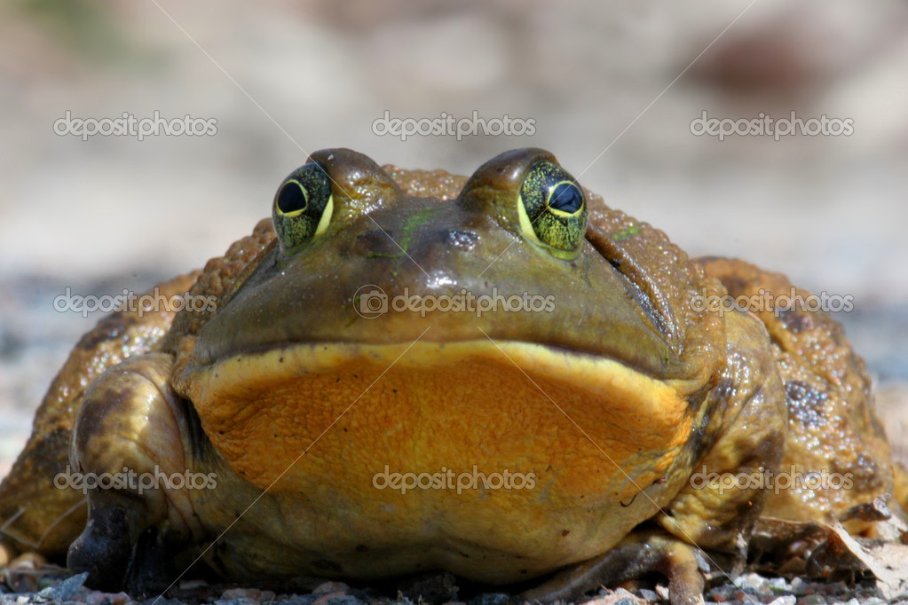 Bull Frog (Rana catesbeiana  Stock Photo #7931511