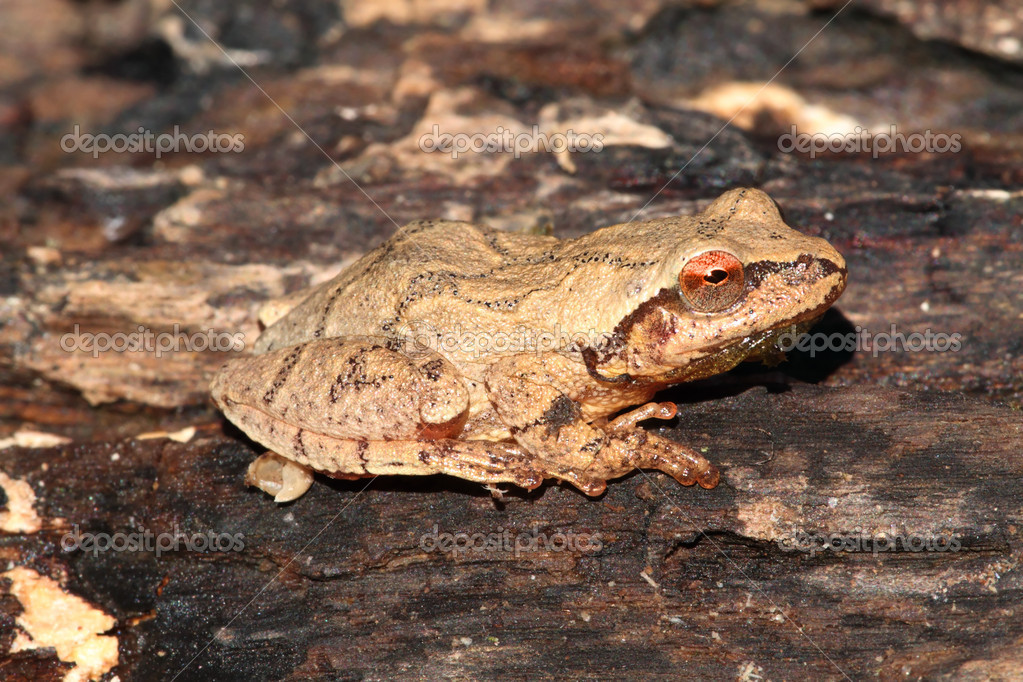Spring Peeper (Pseudacris crucifer) on a mossy log showing the distinctive crossed markings on the back  Stock Photo #7931541