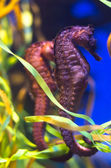 Two Sea Horses — Stock Photo