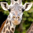 Giraffe Gaze — Stock Photo
