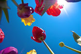 Tulips Against the Sky — Stock Photo