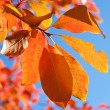 Red yellow fall leafs on blue sky background — Stock Photo