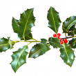 Photo: Holly leaves and berries isolated on a white background
