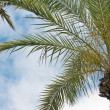 Palm tree against the sky — Stock Photo #7957541