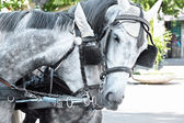 Horses in harness on a city street — Stock Photo