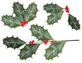 Holly leaves and berries isolated on a white background — Stock Vector