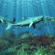 Stock Photo: Sharks requins