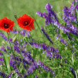 The poppy flowers on blurred background — Stock Photo