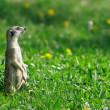 Meercat on the green meadow - Stock Photo