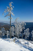 Lonely snowy trees — Stock Photo