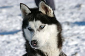 Husky dog during the winter — Stock Photo