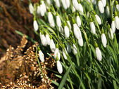 Group of snowdrops at the beginning of spring — Stock Photo