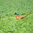 Beautiful pheasant on green grass — 图库照片