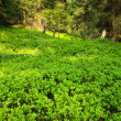 Forest with green bilberry undergrowth — Stock Photo