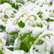 Snow on fresh spring leaves — Stock Photo
