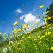 Stock Photo: Meadow with lot of buttercups