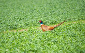 Beautiful pheasant on green grass — Stock Photo