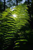 Fern leaves and sun in the forest — Stock Photo