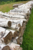 Pile of birch wood — Stock Photo