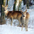 Two roe deers during the cold winter — Stock Photo