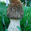 Big morel on the green grass — Stock Photo