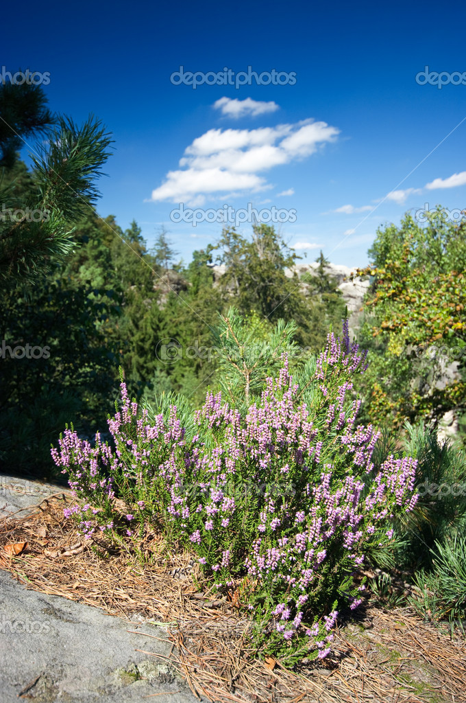 Wild heather on the cliff — Stock Photo #7944017