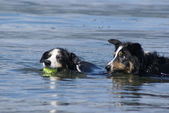 Two border collies swimming — Stock Photo